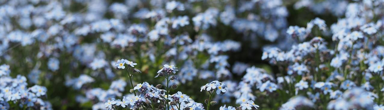 forget-me-not-718610_1280
