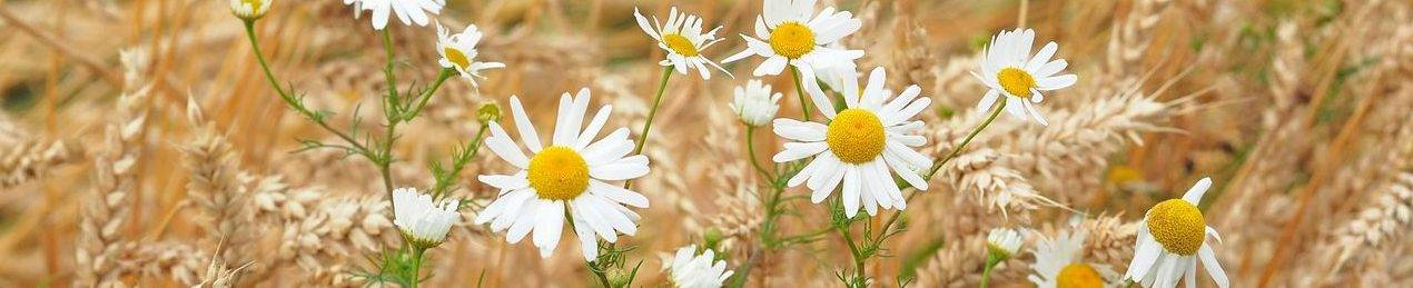 camomile-in-wheat-field-1518771_1280