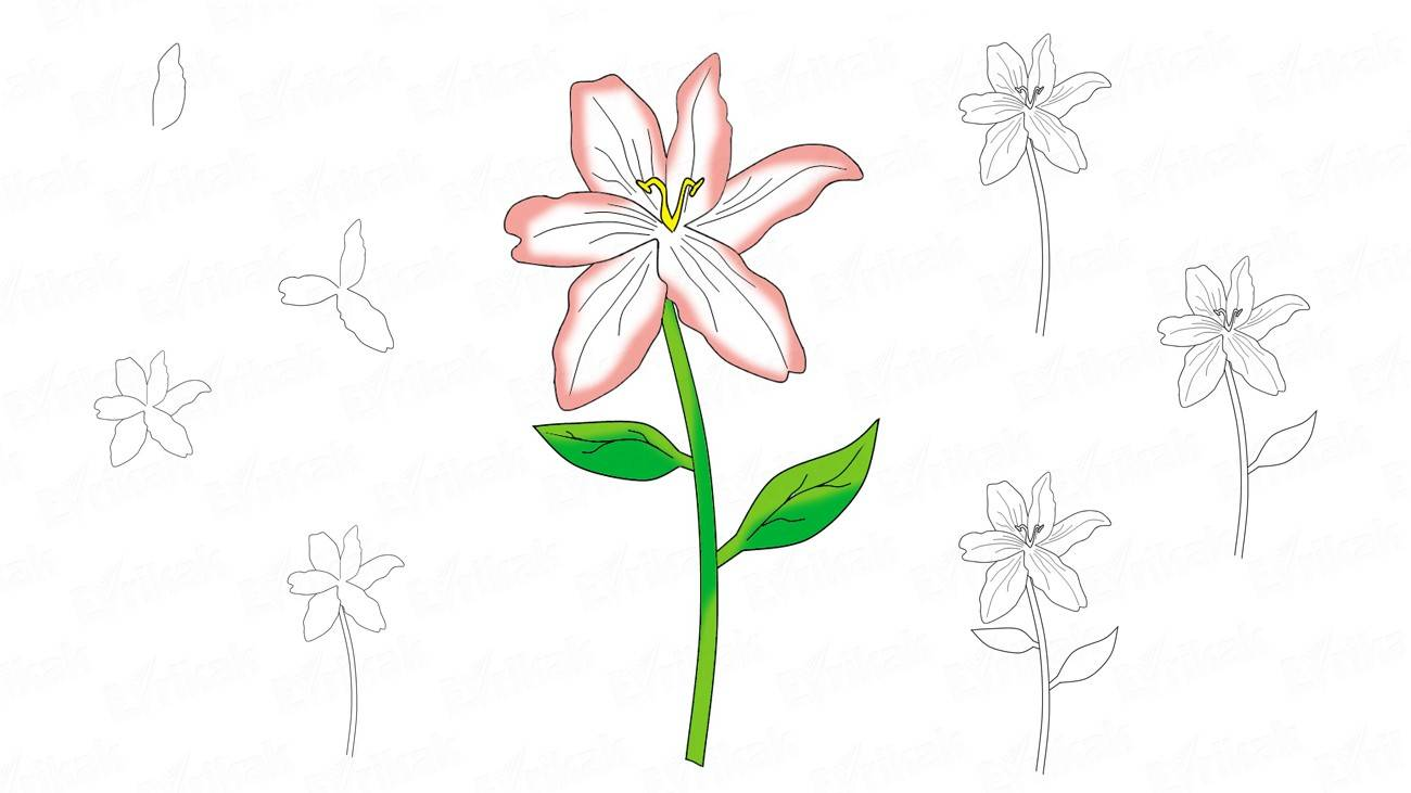 How to draw a lily in stages