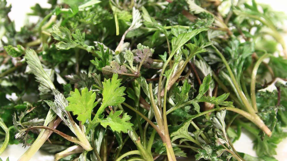 Wormwood (grass) - salvation from 1000 diseases