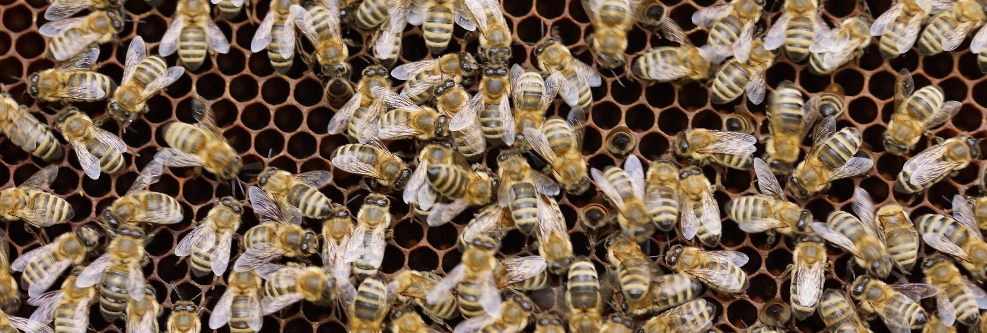 bees-1143385_1920
