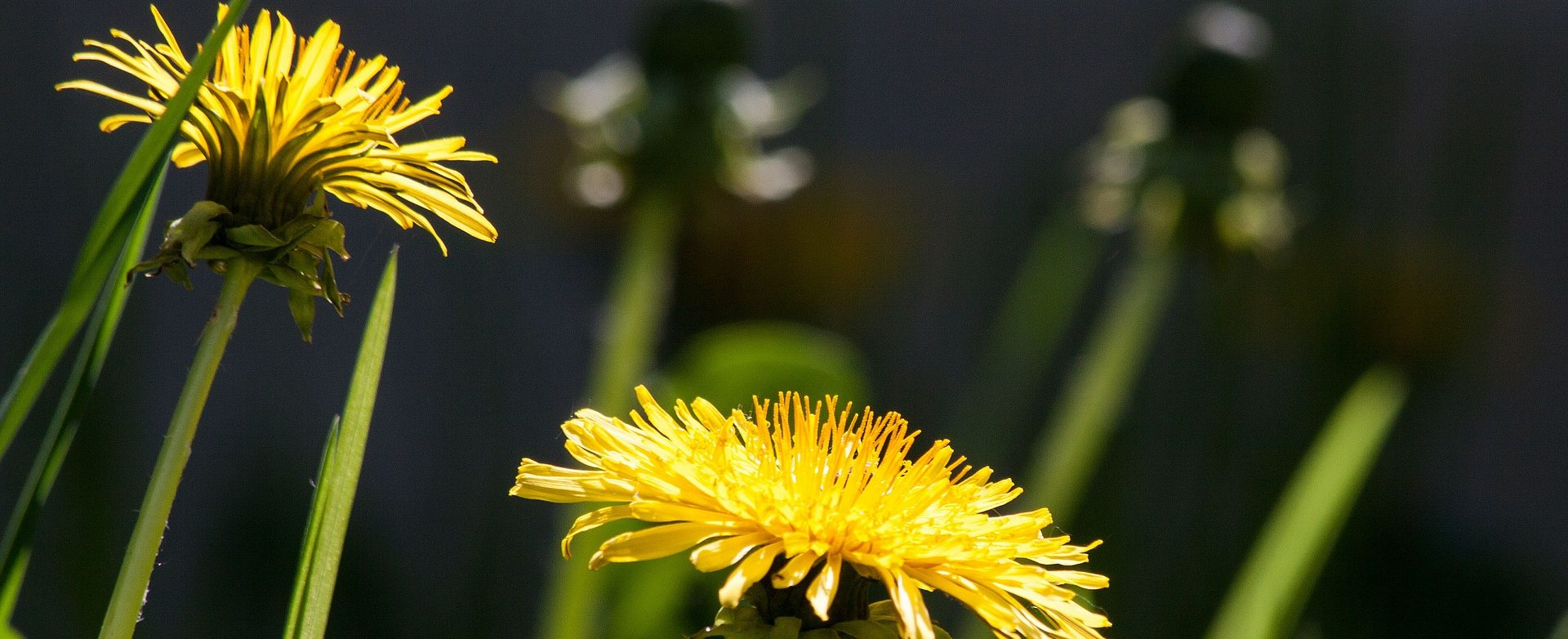 common-dandelion-331701_1920